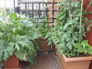terrace garden with potted tomato plants