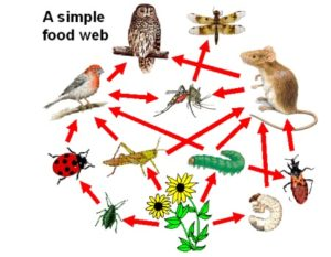 As this shows you, insects are an important part of the food web